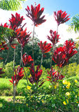 Decorative plants in Maui. Hawaii  surrounded by other lush vegetation Royalty Free Stock Image