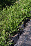 Decorative Plants Production Stock Image