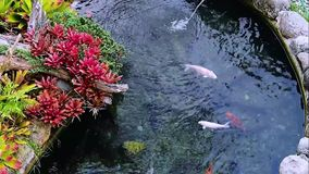 Decorative Pond Colorful Flora and Fauna Video Clip stock footage