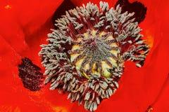 Decorative poppy Stock Photography