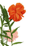 Decorative poppy flower on a white background Royalty Free Stock Images