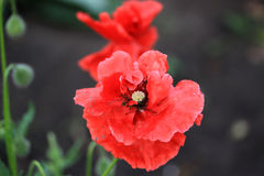 Decorative poppy in the garden. In summer time Stock Photos