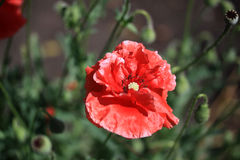 Decorative poppy in the garden. In summer time Stock Image