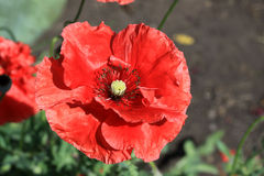 Decorative poppy in the garden. In summer time Royalty Free Stock Image
