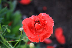 Decorative poppy in the garden. In summer time Stock Images
