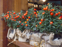 Decorative pots with ornamental coral nightshade (solanum pseudo. String decorative pots with ornamental coral nightshade (solanum pseudocapsicum) on the wooden stock images