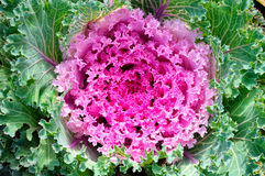 Decorative purple cabbage or kale, Brassica Royalty Free Stock Photos
