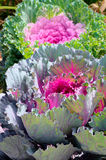 Decorative purple cabbage or kale, Brassica Royalty Free Stock Image