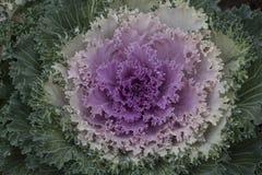 Decorative purple cauliflower. Unusual decorative purple cauliflower and green with dew drops Stock Photos