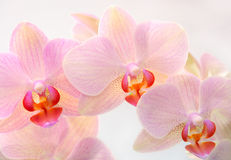 Decorative purple orchids Royalty Free Stock Image