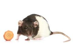 Decorative rat Stock Photos