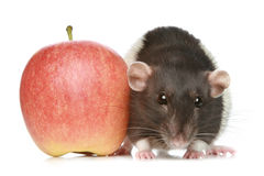 Decorative rat with an apple Stock Images