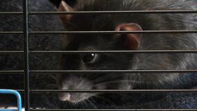Little decorative rat behind bars