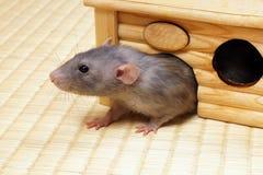Decorative rat Stock Image