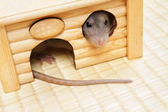 Decorative rat Royalty Free Stock Images