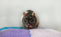 Funny domestic rat washes royalty free stock images