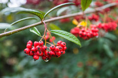 Decorative red Cotoneaster berries Royalty Free Stock Image