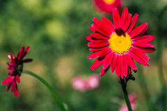 Decorative red daisy flower on a green background Royalty Free Stock Photography