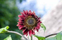 Beautiful decorative sunflower in garden Stock Photo