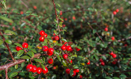 Decorative red Firethorn berries Stock Photo