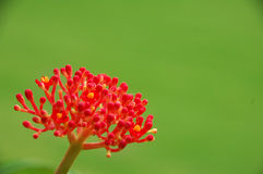 Decorative red flower in bloom Royalty Free Stock Photos