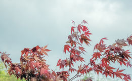 Decorative red Maple on the sky background stock photos