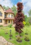 Decorative red maple tree Royalty Free Stock Photos