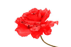 Decorative red rose Royalty Free Stock Images