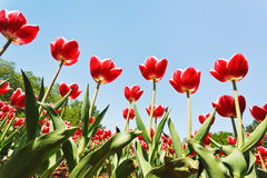 Decorative red tulips on flower field Stock Images