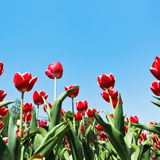 Decorative red tulips on flowerbed on blue sky Stock Photo