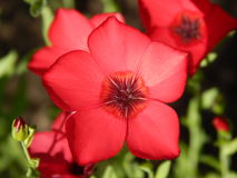 Decorative scarlet flax Stock Photo
