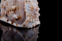 Decorative seashell on a black background Stock Photo