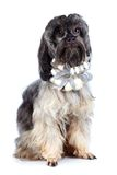 Decorative shaggy doggie with a bow. Royalty Free Stock Photo
