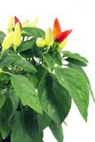 Decorative sharp pepper Royalty Free Stock Images