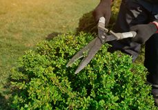 Decorative shearing of shrubs with pruning shears stock photography
