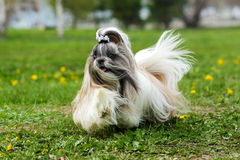 Decorative Shih Tzu dog runs. Shih Tzu decorative dog runs in the summer on the grass, hair flying in the wind stock images