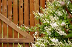Decorative shrub, deutzia gracilis, against wooden fence. Picture show white deutzia gracilis shrub when its flowers are just started to open. Wooden fence in royalty free stock photography