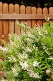 Decorative shrub, deutzia gracilis, against wooden fence. Stock Photo