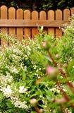 Decorative shrub, deutzia gracilis, against wooden fence. Royalty Free Stock Image