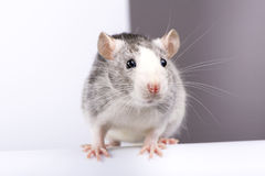 Decorative silver rat close-up Royalty Free Stock Photography