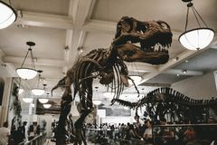 A decorative skeleton of a dinosaur stock images