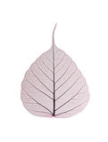 Decorative skeleton leaf Royalty Free Stock Image