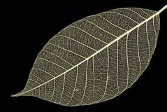 Decorative skeleton leaf stock images