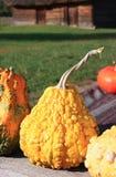Decorative small pumpkin. Seasonal plant baby pumpkin ready to carving Royalty Free Stock Photo