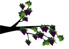 Decorative Spring Branch Tree Silhouette With Grapes Royalty Free Stock Photos