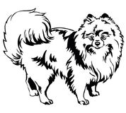 Decorative standing portrait of Dog Pomeranian Spitz vector il vector illustration