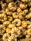Decorative Striped Pumpkin Squash. Striped miniature decorative pumpkin squash stock photo
