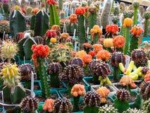 Decorative succulents. Top grafting  decorative succulents Stock Image