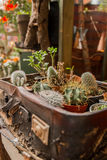 Decorative succulents Royalty Free Stock Images