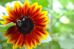 Decorative Sunflower Royalty Free Stock Photography